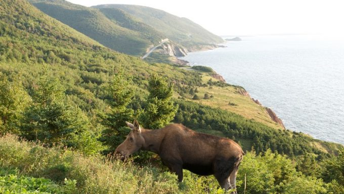 Cabot Trail Moose
